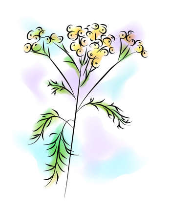 treatment plant: the llustration - the watercolor painting - of the tansy flower.