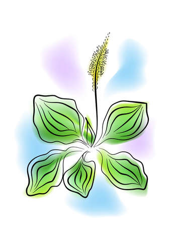 plantain herb: the llustration - the watercolor painting - of the plantain. Illustration
