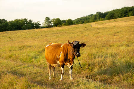 A single mature cow in the field very quietly sits and waits for the master in Romania in a summer day
