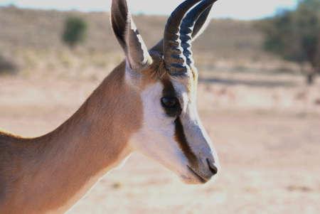 springbok: Young springbok male