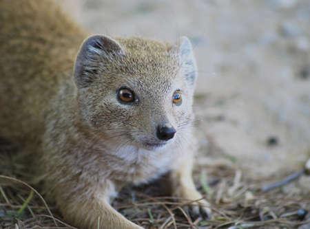 mongoose: Yellow mongoose resting