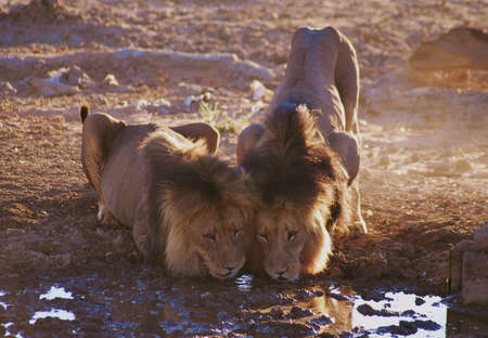 Lion males drinking water Stock Photo - 8782529