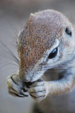 potrait: Ground squirrel eating potrait