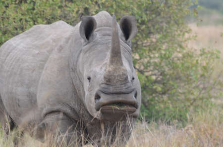 wildllife: White Rhino