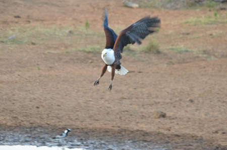 African fish eagle flying photo