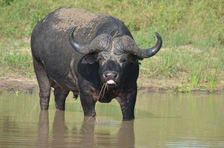 horn like: African buffalo Stock Photo