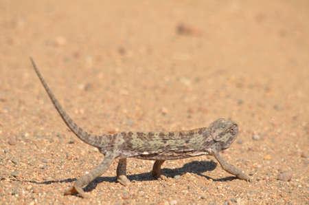 africa chameleon: Chameleon on the road