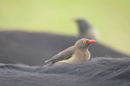 billed: Red billed oxpecker on buffalo
