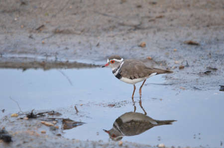 plover: Three banded sand plover