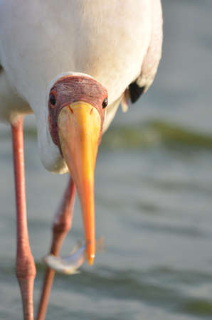 billed: Yellow billed stork with fish
