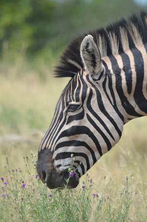 plains: Plains zebra