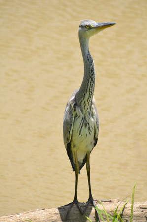 grey heron: Grey heron Stock Photo