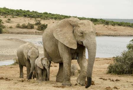 Family heard of elephants Imagens