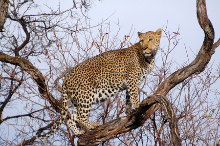 Amazing Leopard in a tree Namibia