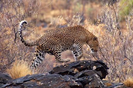 Beautiful Leopard in Namibia