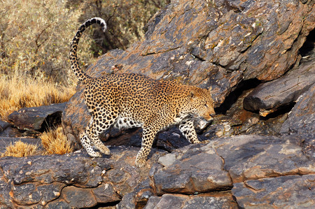 Wonderful Leopard in Namibia