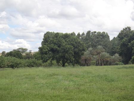 Macadamia tree in the field Banco de Imagens