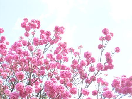 Pink flowers - Ipê