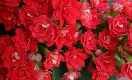 perianth: Red flowers - Kalanchoe