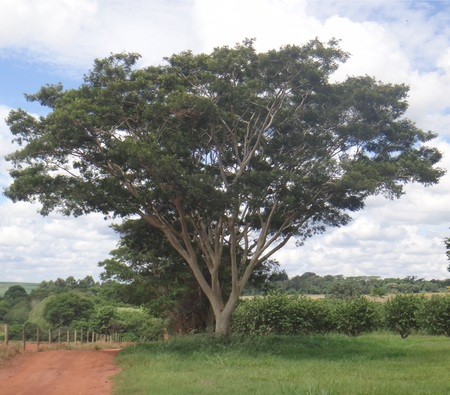Albizia niopoides - Tree Reklamní fotografie