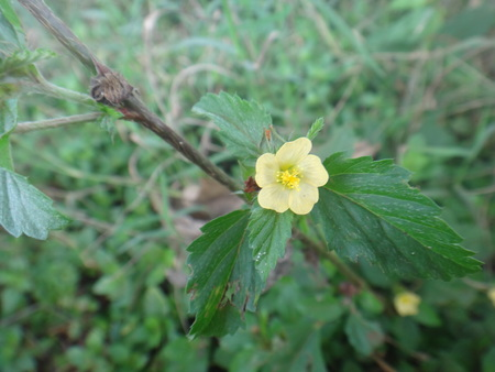 Sida sp. - Flower - Yellow