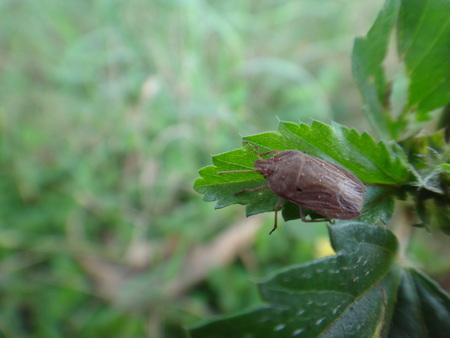 Bed bug on a leaf