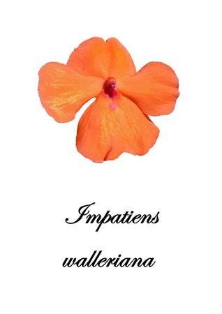 Impatiens walleriana - Flower