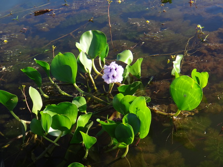 species living: Eichhornia crassipes, commonly known as water hyacinth, is an aquatic plant native to the Amazon basin, and is often highly problematic in invasive species outside its native range.