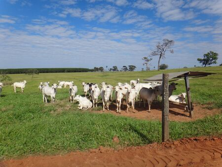 The cattle in the grassland