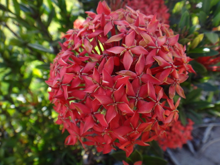 jejunum: Red ixora flower on its bush Stock Photo