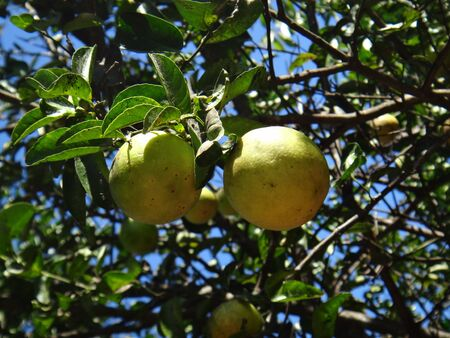 species living: Citrus limettioides, Palestinian sweet lime or Indian sweet lime or common sweet lime, alternatively considered to cultivate Citrus ? limon, C. ? limon Indian Lime, [1] is a low acid lime that has been used in Palestine for food, Juice and rootstock. Stock Photo
