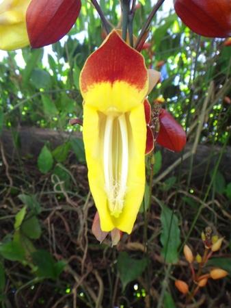 Clock vine (Thunbergia mysorensis) Stock Photo