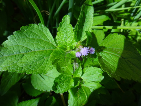 Ageratum conyzoides is a species of flower plant belonging to the family Asteraceae