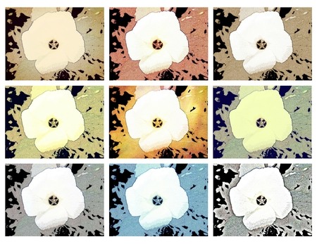 Flower of Sida sp. - Floral patterns