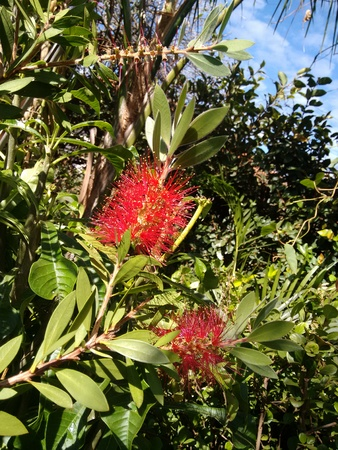 Bottlebrushes or Callistemon are members of the Callistemon genus and belong to the family Myrtaceae. Stock Photo