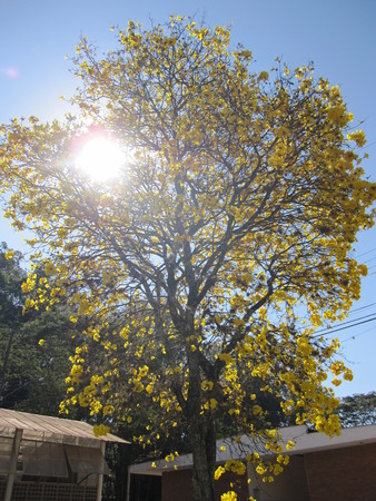 photosynthetic: Handroanthus albus is a species of the genus Handroanthus tree. Popurlamente is called in Brazil yellow-ipe-of-saw, ipe gold, ipe-yellow