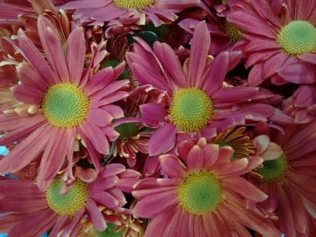 Chrysanths - The chrysanthemum is a popular plant of the daisy family, having brightly colored ornamental flowers and existing in many cultivated varieties