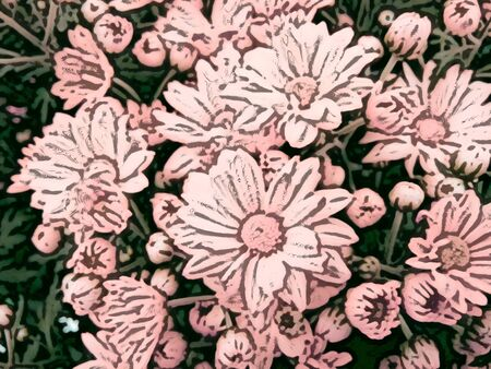 Pink daisies - A popular plant of the daisy family, having brightly colored ornamental flowers and existing in many cultivated varieties (Line drawn) Stock Photo
