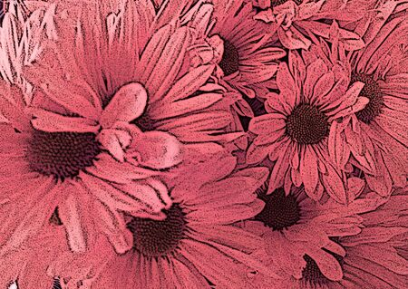 asteraceae: Pink daisies - A popular plant of the daisy family, having brightly colored ornamental flowers and existing in many cultivated varieties (Line drawn) Stock Photo