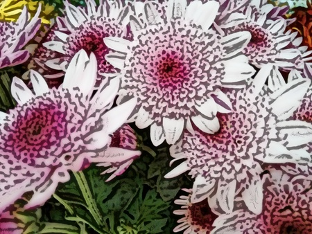 Chrysanthemum flower - Pink - A popular plant of the daisy family, having brightly colored ornamental flowers and existing in many cultivated varieties (Line drawn)