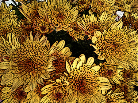 perianth: Chrysanthemum flower - A popular plant of the daisy family, having brightly colored ornamental flowers and existing in many cultivated varieties (Line drawn)