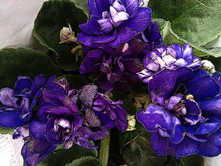 Das afrikanische Veilchen ist eine krautige Pflanze gemäßigter Regionen, typischerweise mit lila, blauen, rosa oder weißen fünfblättrigen Blüten, von denen eine eine Landefläche für bestäubende Insekten bildet - (Linie gezeichnet)