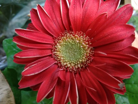 The gerbera is a plant of the daisy family, native to Asia and Africa, with large brightly colored flowers