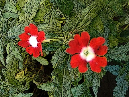 Red crossandra flowers - Crossandra infundibuliformis, also known as marmalade or the firecracker flower. Firecracker flower produces clusters of fragrant moth-shaped flowers. Stock Photo