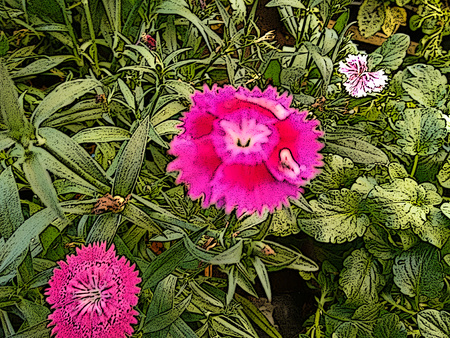 Pink carnation flower - The carnation is a double-flowered cultivated variety of clove pink, with gray-green leaves and showy pink, white, or red flowers