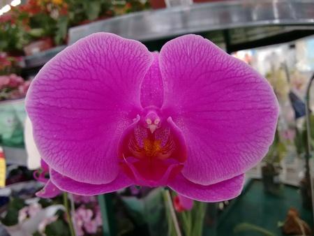 Die Orchidaceae sind eine vielfältige und weit verbreitete Familie von blühenden Pflanzen mit Blüten, die oft bunt und duftend sind, allgemein bekannt als die Orchideenfamilie.
