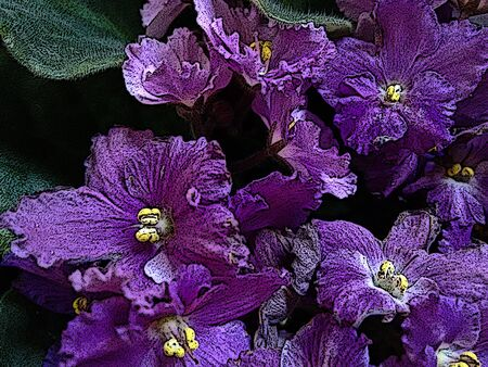 African violet flower - Purple - The african violet is a herbaceous plant of temperate regions, typically having purple, blue, pink or white five-petaled flowers, one of which forms the landing pad for pollinating insects