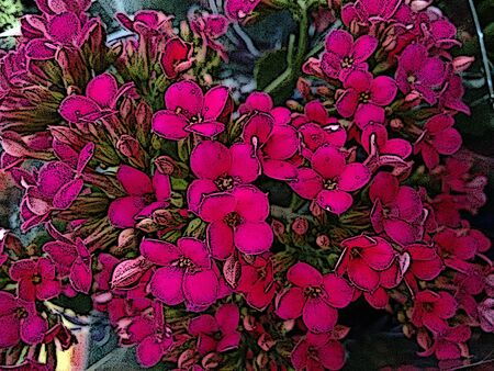 Kalanchoe flower - Pink - A tropical succulent plant with clusters of tubular flowers, sometimes producing miniature plants along the edges of the leaves and grown as an indoor or greenhouse plant.