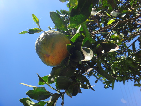 Tangerine tree in the field - Branch of an Tangerine tree against blue sky