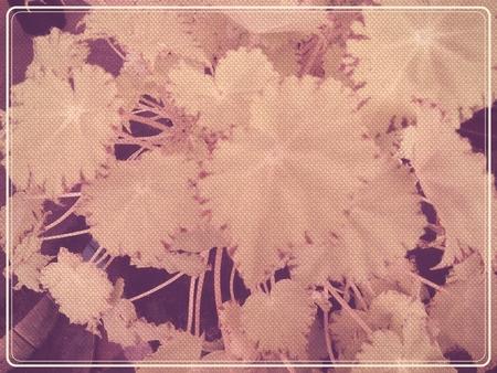 ジンジャー ベゴニアの葉が植物の背景またはテクスチャ-